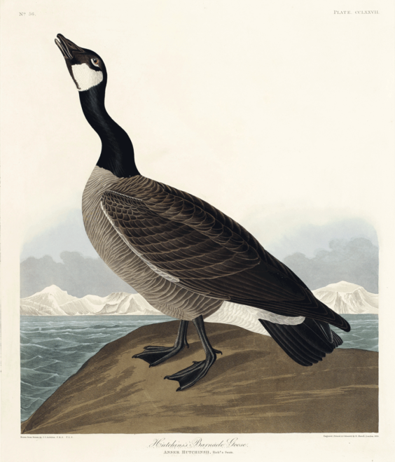 america, antique, bird, birds of america, blue crane or heron, cc0, creative commons, creative commons 0, drawing, hutchins barnacle goose, hand drawing, john james audubon, little blue heron, old, public domain, robert havell, sketch, vintage